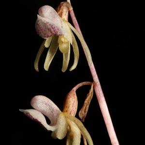 - Epipogium aphyllum Sw. [1814]