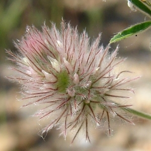 - Trifolium arvense L.