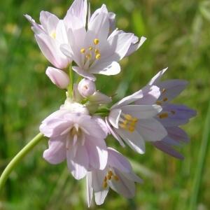 - Allium roseum L.