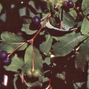 Photographie n°692888 du taxon Lonicera nigra L. [1753]