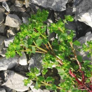 Photographie n°692932 du taxon Euphorbia peplus L. [1753]