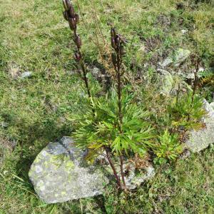 Photographie n°693008 du taxon Aconitum napellus L. [1753]