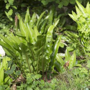 Photographie n°693055 du taxon Asplenium scolopendrium L. [1753]