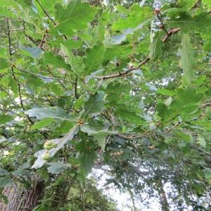 Photographie n°693178 du taxon Quercus robur L. [1753]