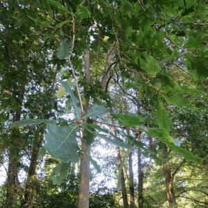 Photographie n°693179 du taxon Quercus robur L. [1753]