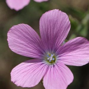 Linum viscosum L. (Lin visqueux)