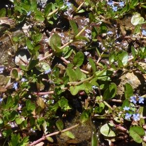 Photographie n°693301 du taxon Veronica beccabunga L.