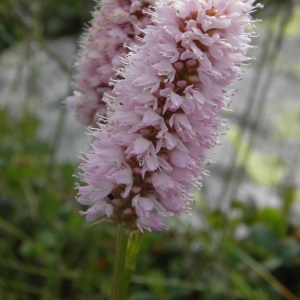 Photographie n°693351 du taxon Persicaria bistorta (L.) Samp.