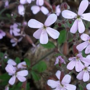 Photographie n°693436 du taxon Saponaria ocymoides L.