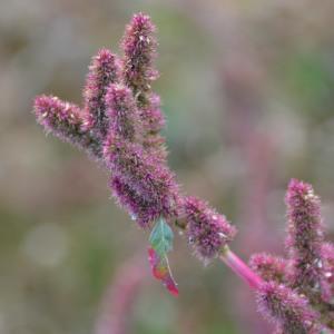 Photographie n°693613 du taxon Amaranthus L. [1753]