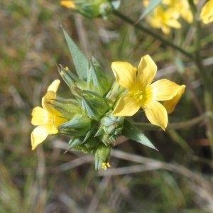 Photographie n°693628 du taxon Linum strictum L.