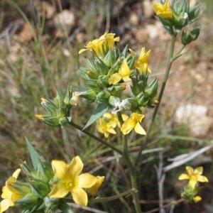 Photographie n°693629 du taxon Linum strictum L.