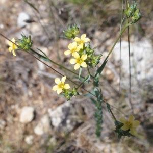 Photographie n°693631 du taxon Linum strictum L.