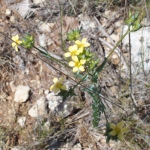 Photographie n°693632 du taxon Linum strictum L.