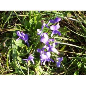 Viola pumila Chaix (Violette naine)