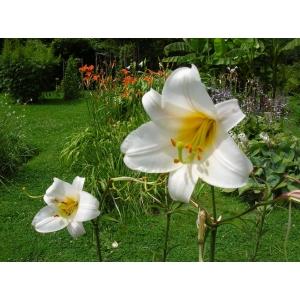 Lilium regale Wilson (Royal Lily)