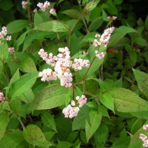 - Persicaria campanulata (Hook.f.) Ronse Decr.