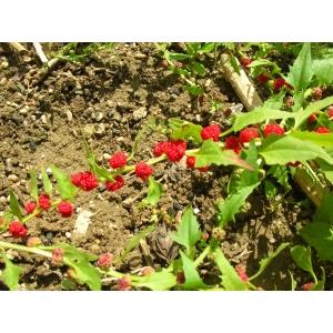 Chenopodium foliosum Asch. (Épinard-fraise en baguette)