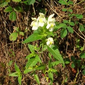 Photographie n°694166 du taxon Galeopsis tetrahit L.