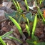 Yoan Martin - Tulipa sylvestris L.