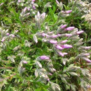 Photographie n°694376 du taxon Phlox subulata L.