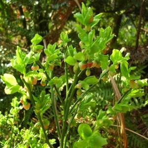 Photographie n°694437 du taxon Vaccinium myrtillus L.