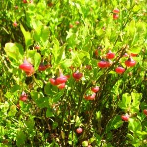 Photographie n°694614 du taxon Vaccinium myrtillus L.