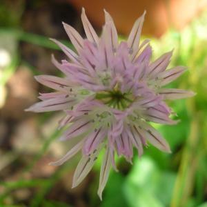 Photographie n°694655 du taxon Allium schoenoprasum L.