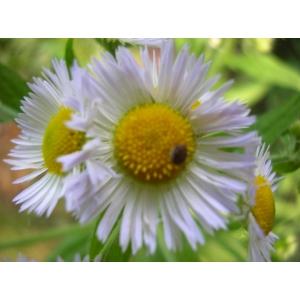 Erigeron strigosus Mühl. ex Willd. (Vergerette maigre)