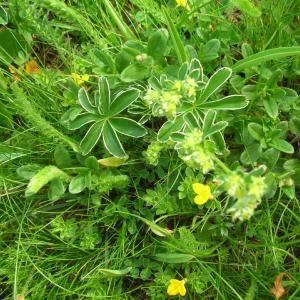 Photographie n°694998 du taxon Alchemilla alpina L.