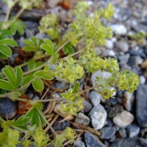 Photographie n°695000 du taxon Alchemilla alpina L.