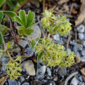 Photographie n°695002 du taxon Alchemilla alpina L.