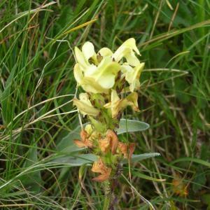 Photographie n°695152 du taxon Pedicularis tuberosa L.