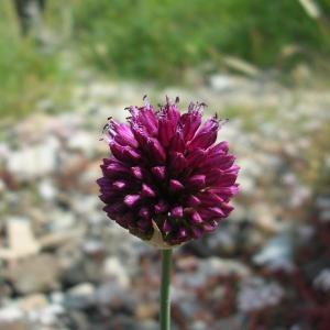 Photographie n°695168 du taxon Allium schoenoprasum L.