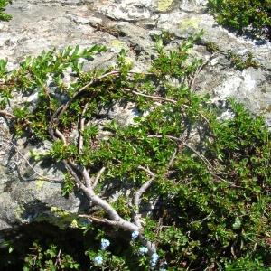 Photographie n°695217 du taxon Salix retusa L.