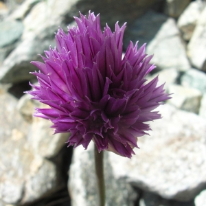 Photographie n°695280 du taxon Allium schoenoprasum L.