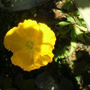 Photographie n°695339 du taxon Papaver cambricum L.