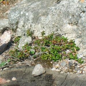 Photographie n°695400 du taxon Loiseleuria procumbens (L.) Desv.