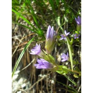 Gentianella aspera (Hegetschw.) Salicky & al. (Gentiane rude)