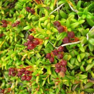 Photographie n°695492 du taxon Loiseleuria procumbens (L.) Desv.