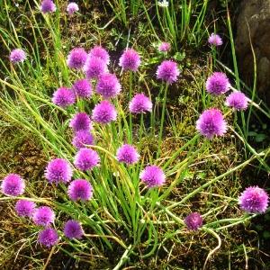 Photographie n°695506 du taxon Allium schoenoprasum L.
