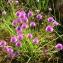 Yoan Martin - Allium schoenoprasum L.