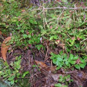 Photographie n°695615 du taxon Vaccinium myrtillus L.