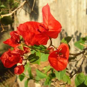 Photographie n°695688 du taxon Bougainvillea glabra Choisy