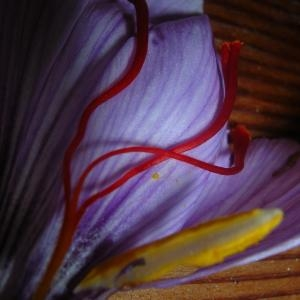 Photographie n°695793 du taxon Crocus sativus L.