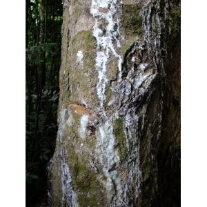 Hevea brasiliensis (Willd. ex A.Juss.) Müll.Arg.