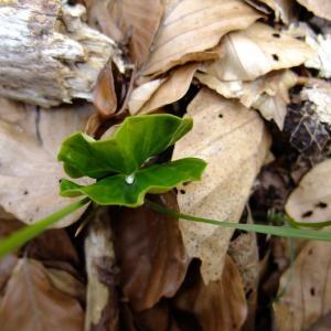 Photographie n°696154 du taxon Fagus sylvatica L.