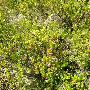 Photographie n°696482 du taxon Vaccinium myrtillus L.
