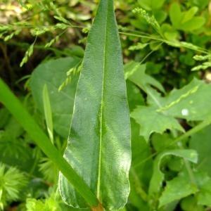 Photographie n°696504 du taxon Persicaria bistorta (L.) Samp.