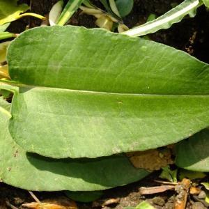 Photographie n°696505 du taxon Persicaria bistorta (L.) Samp.